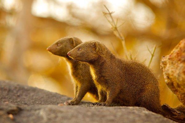 Ученые выяснили, что юные мангусты перенимают привычки своих опекунов
