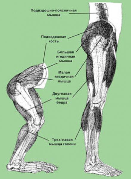 У обезьян нашли исключительно человеческие мышцы