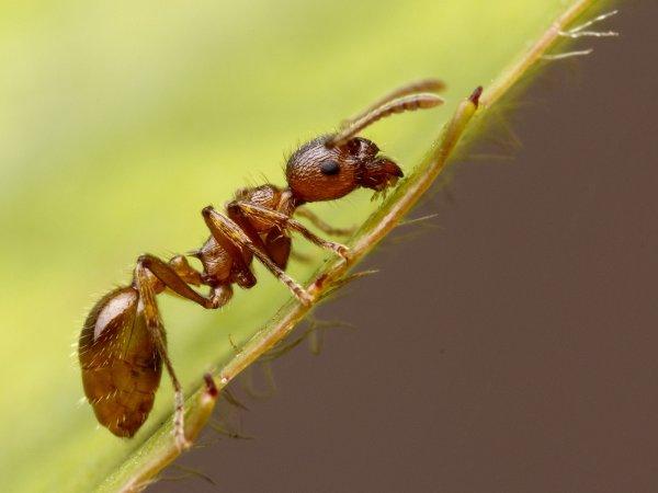Ученые рассказали о невероятных «зомби-грибках» для муравьев