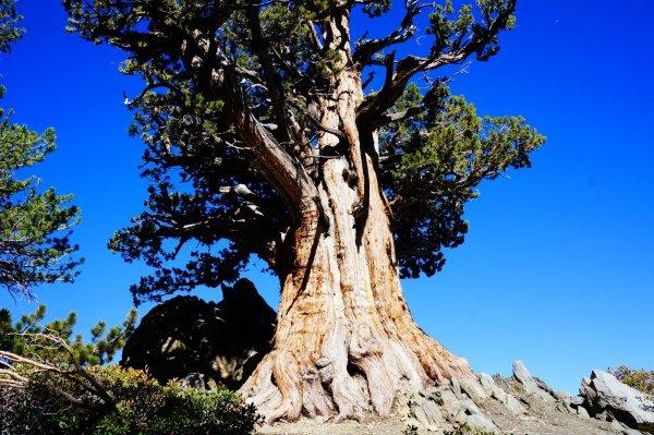 Ровесник викингов: В Италии нашли самое древнее дерево, которому 1230 лет