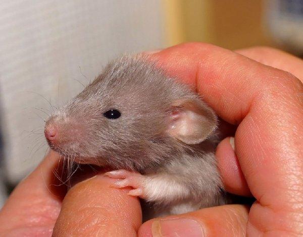 Поздно родившие крысы производят на свет сыновей с проблемными сосудами
