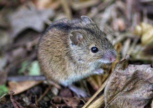 Ученым впервые удалось вылечить у мышей последствия деменции