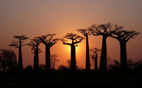 Ученые ищут причину внезапного массового вымирания баобабов в Африке