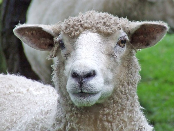 В Новой Зеландии вывели овец, которые меньше пукают и отрыгивают