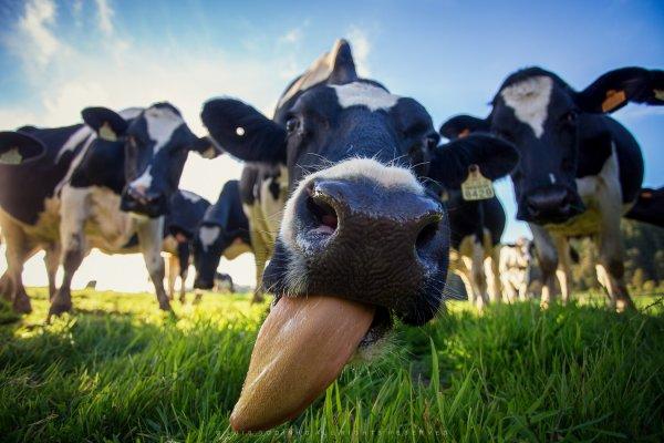 Ученые: Необходимо кормить коров