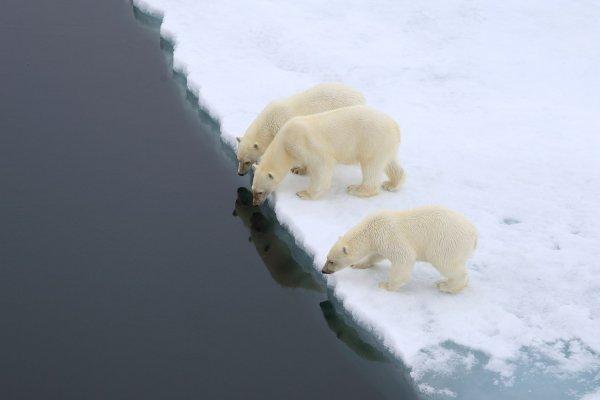 Ученые сообщили, что белые медведи не вымрут из-за косолапости