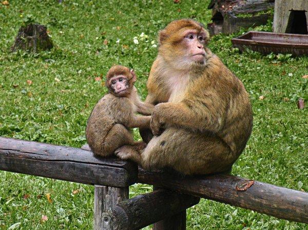 Исследование красноярской школьницы об обезьянах получило одобрение зоологов