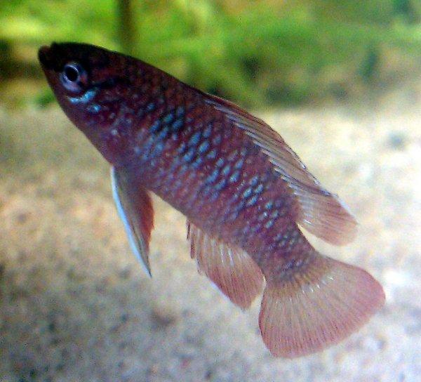 Ученые: Рыбки дарио видят в УФ-спектре