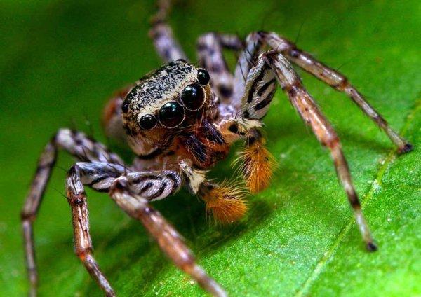 Уникальные пауки-гоблины шокировали ученых Шри-Ланки