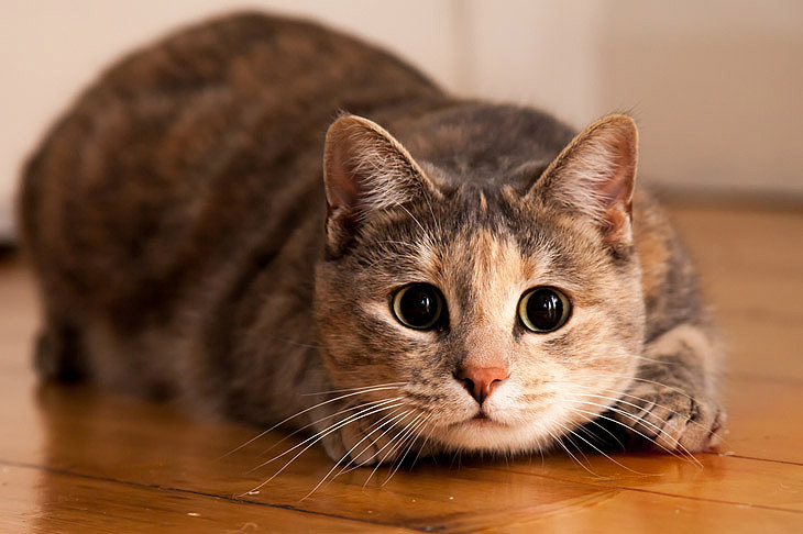 Купить кошку в СПб онлайн